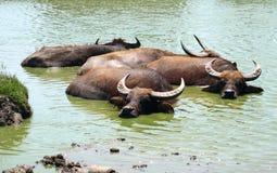 Búfalos de água foto de stock