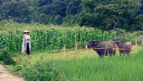 Búfalos de água e mulher vietnamiana Fotografia de Stock Royalty Free
