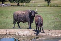 Búfalos de água húngaros Imagens de Stock