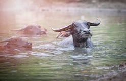 Búfalos de água que nadam Imagens de Stock