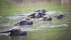 Búfalos de água que nadam Fotos de Stock Royalty Free