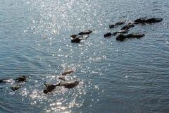 Búfalos de água que nadam Fotos de Stock