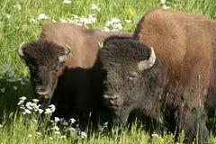 Búfalos de acoplamento Imagens de Stock