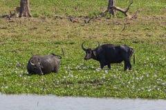 Búfalos de agua Fotos de archivo