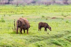Búfalos de agua Fotografía de archivo