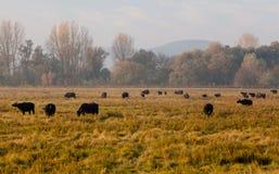 Búfalos de agua Imagenes de archivo