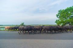 Búfalos de agua Fotos de archivo libres de regalías