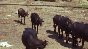 Búfalos de agua de Asia del Sur de la manada que pastan en la India metrajes