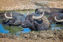 Búfalos de agua húngaros Fotos de archivo libres de regalías
