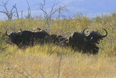 Búfalos de cabo Foto de archivo libre de regalías