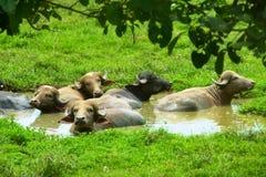 Búfalos de Costa-Rica Imagens de Stock Royalty Free