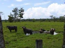 Búfalos de Costa Rica Imagen de archivo libre de regalías