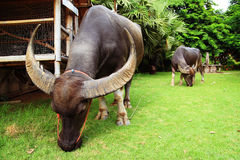 Búfalos de Tailândia Fotos de Stock