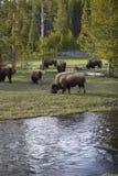 Búfalos de Yellowstone Fotografia de Stock