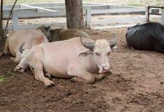 Búfalos del albino que duermen en la tierra Fotos de archivo libres de regalías