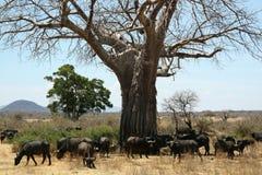 Búfalos del baobab Fotografía de archivo libre de regalías