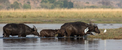 Búfalos del cabo que cruzan el río Foto de archivo