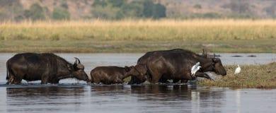 Búfalos do cabo que cruzam o rio Foto de Stock