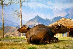 Búfalos em Nepal Foto de Stock