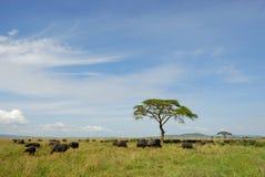 Búfalos em Serengeti Fotografia de Stock