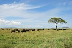 Búfalos em Serengeti, Tanzânia, África foto de stock royalty free