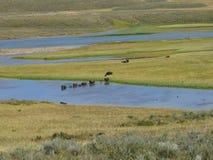 Búfalos em Yellowstone Fotografia de Stock