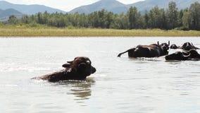 Búfalos en agua metrajes