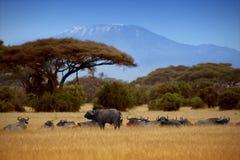 Búfalos en el fondo de Kilimanjaro Foto de archivo libre de regalías