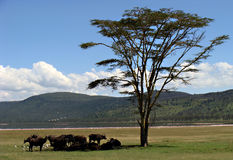 Búfalos en el lago Nakuru foto de archivo