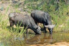 Búfalos en el parque nacional de Kruger, Suráfrica Imagen de archivo libre de regalías