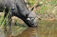 Búfalos en el parque nacional de Kruger, Suráfrica Fotografía de archivo libre de regalías