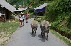 Búfalos en el pueblo de Cat Cat en Sapa Foto de archivo