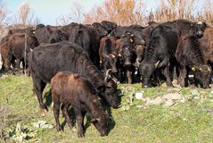 Búfalos en Grecia Fotografía de archivo