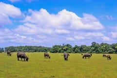 Búfalos en la colina Foto de archivo libre de regalías