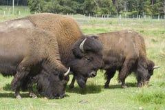 Búfalos en un prado Imagen de archivo libre de regalías