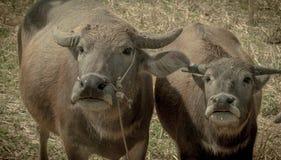 Búfalos gêmeos Foto de Stock