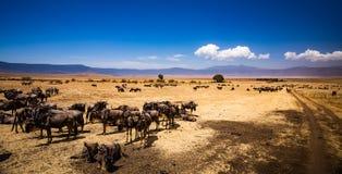 Búfalos na cratera de Ngorongoro em Tanzânia Fotografia de Stock