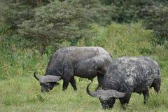 Búfalos na cratera de Ngorongoro, Tanzânia Imagens de Stock Royalty Free