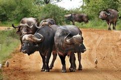 Búfalos na maneira Fotos de Stock Royalty Free