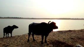 Búfalos no banco de rio imagem de stock
