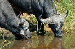 Búfalos no parque nacional de Kruger, África do Sul Fotografia de Stock