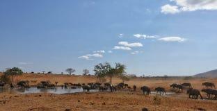 Búfalos que beben en la piscina Tsavo NP del oeste Kenia África Foto de archivo libre de regalías