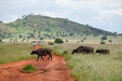 Búfalos que cruzam uma estrada de terra no santuário de animais selvagens dos montes de Taita, Voi, Kenya Imagens de Stock