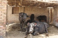 Búfalos que descansam em uma tenda cozida do tijolo Imagem de Stock
