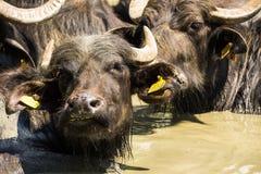 Búfalos que fazem o banho Fotografia de Stock Royalty Free