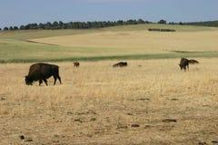 Búfalos que pastam imagens de stock