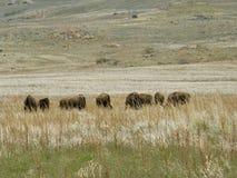 Búfalos que pastam em uma planície Fotos de Stock Royalty Free