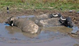 Búfalos que relaxam na poça fotografia de stock