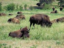 Búfalos que toman una siesta Imágenes de archivo libres de regalías