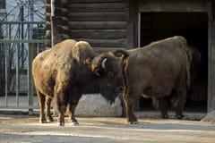 Búfalos que vão para casa Imagem de Stock